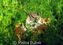 freshwater crayfish / Canon G9, macro lens by Melita Bubek 
